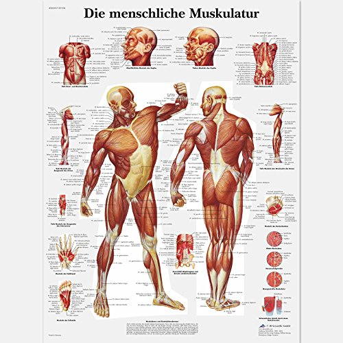 3B Scientific Planche anatomique Die menschliche Muskulatur en allemand de 3B Scientific