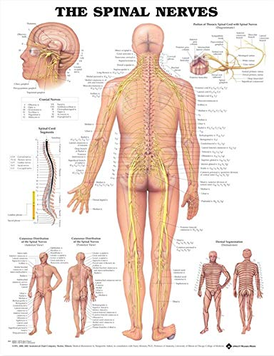 The The Spinal Nerves Anatomical Chart de Anatomical Chart