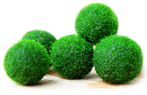 Aquarium Plants MARIMO Moss Boule X 5 + 1 Gratuit clavardage Rare Facile Décor Usine. Vous vivez Moss Balle. (Ship from UK) Taille d''Environ 12 mm de Aquarium Plants